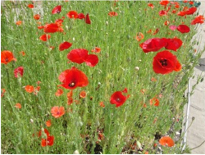 616 JenniferBute Poppies 20150731b 3in100ppi